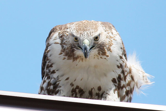 hawk-in-toronto-may-2014