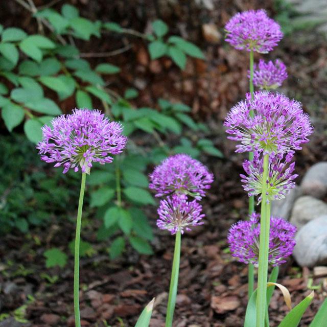 allium-flowers-in-bloom
