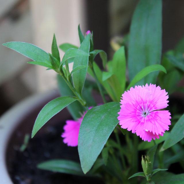 pink-dianthus