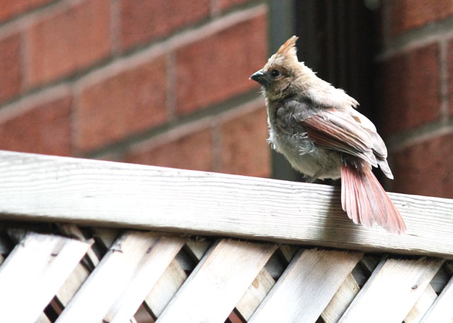 baby-cardinal-on-fence
