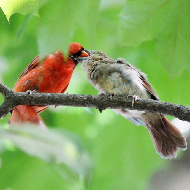 male-cardinal-feeding-baby-02