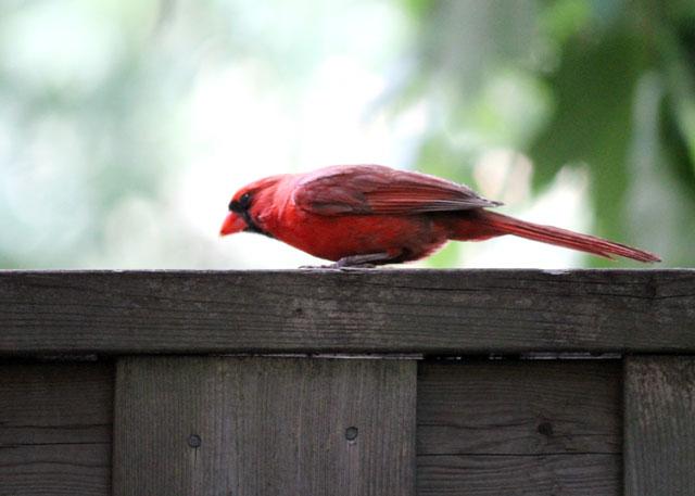 male-cardinal-on-fence