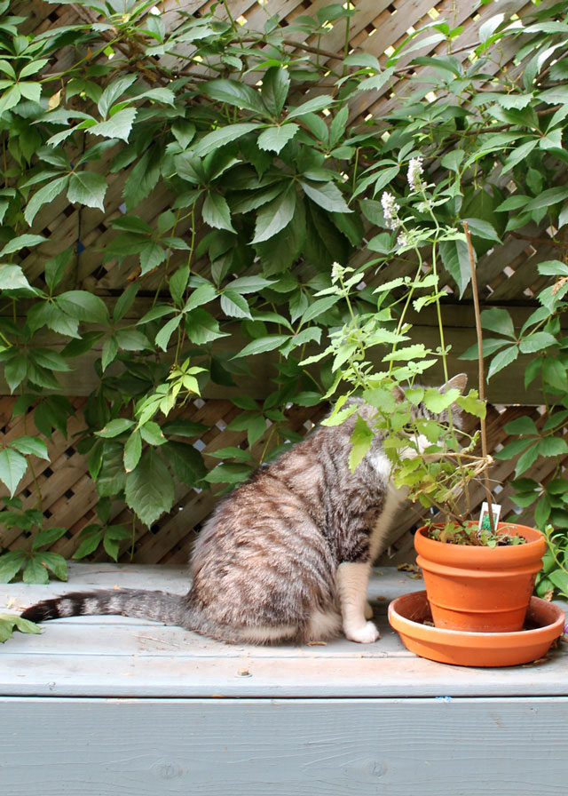 eddie-and-catnip-plant