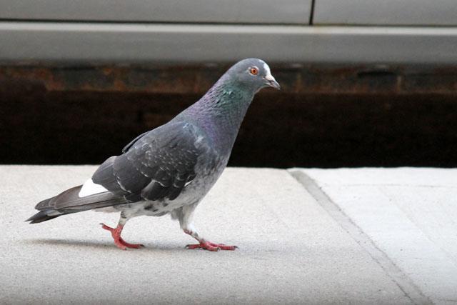 pigeon-walking