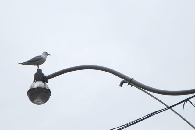 gull-on-a-light-post
