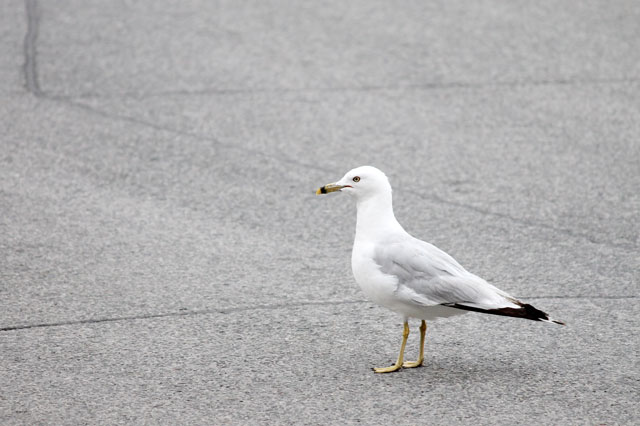 seagull-in-toronto-ring-billed-gull