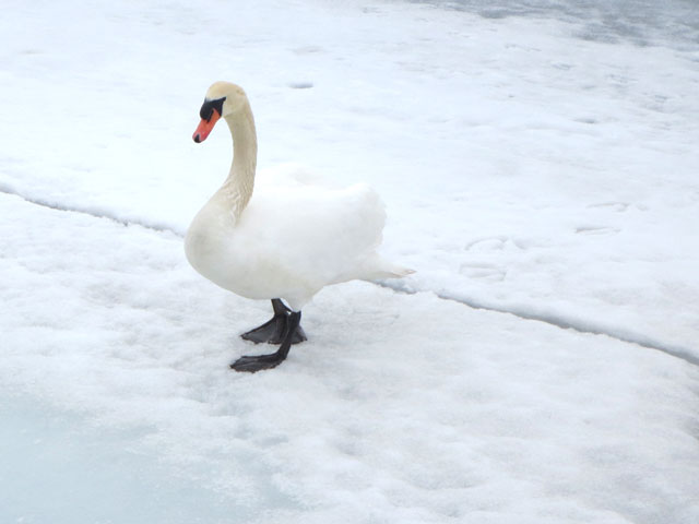swan-walking-on-ice-toronto-harbour
