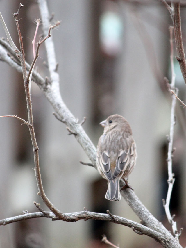 female-house-finch-bird
