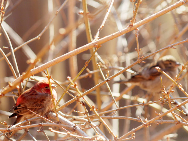 pair-of-house-finches-toronto-spring-2015