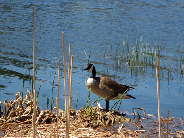 canada-goose-in-high-park