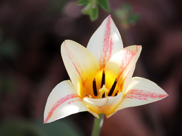 lilly-flowered-tulip