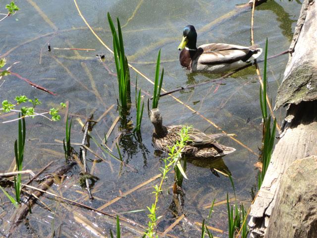 pair-of-mallard-ducks-in-grenadier-pond-high-park-toronto