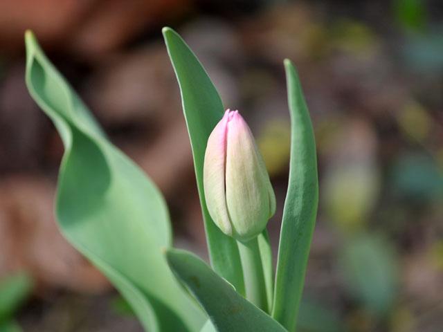 pink-tulip-bud