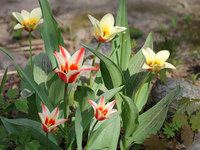 tulip-patch
