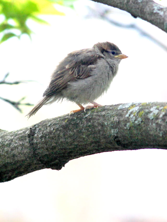 baby-sparrow-bird-about-ten-days-old