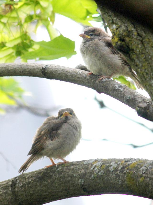 baby-sparrow-birds-around-ten-days-old