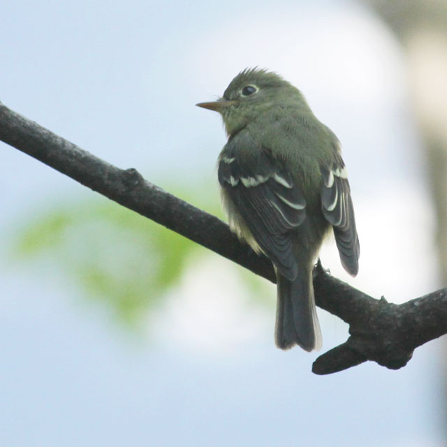 migrating-bird-passing-through-toronto-in-the-spring flycatcher