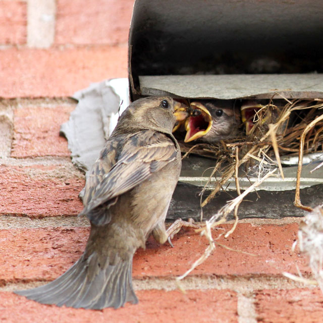 mother-sparrow-feeding-young