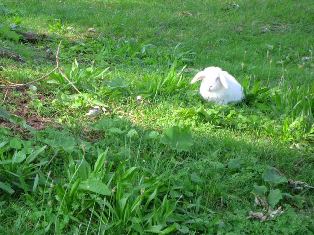 pet-rabbit-in-the-park