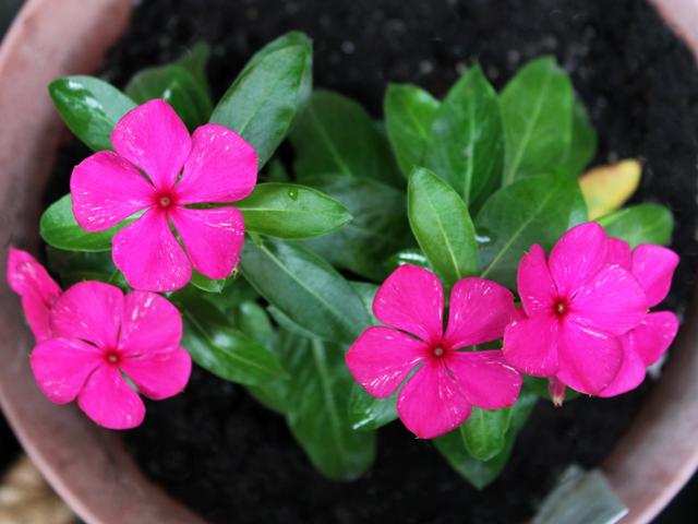 annual-vinca-in-a-pot