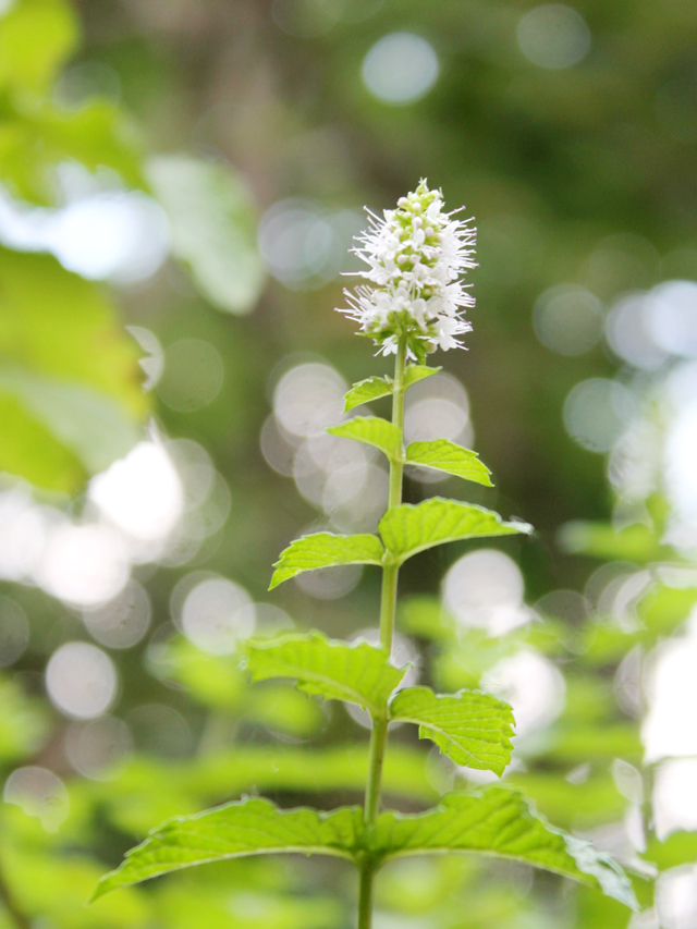 mint-in-flower