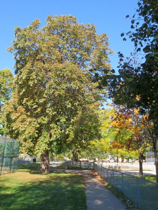 chestnut-tree-in-toronto