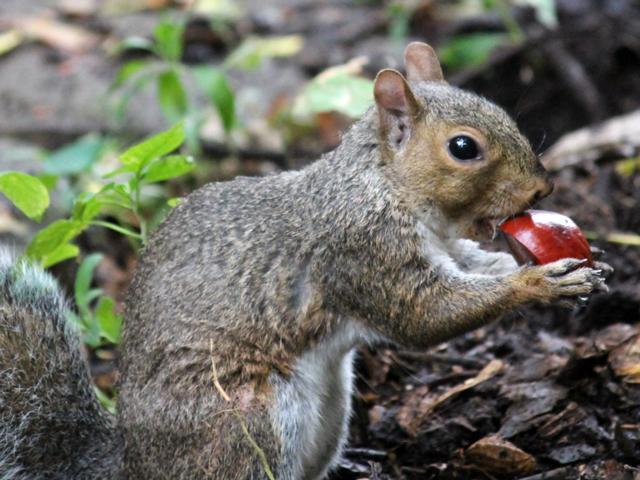 squirrel-eating-a-chestnut
