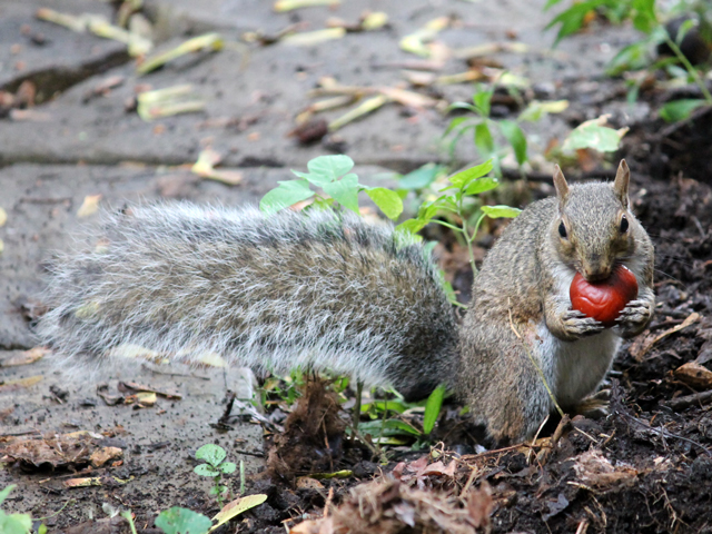 squirrel-with-a-chestnut