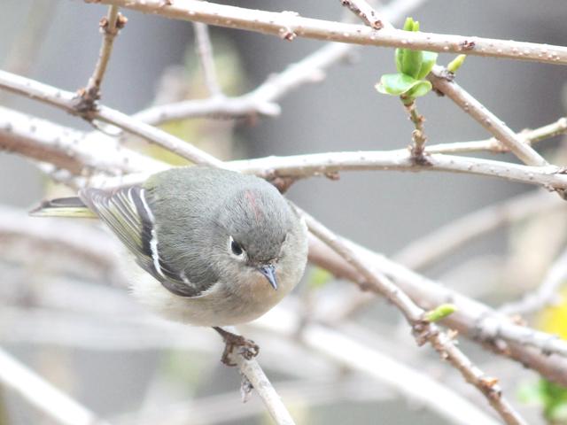 bird-watching-in-toronto-ruby-crowned-kinglet-spring-migration