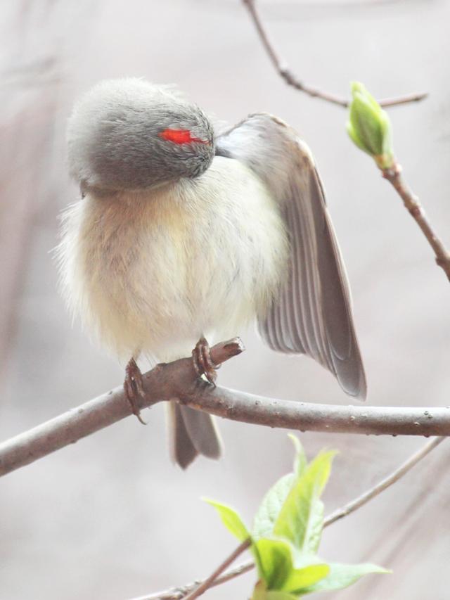 male-ruby-crowned-kinglet-bird-seen-in-toronto