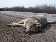 loup-mort