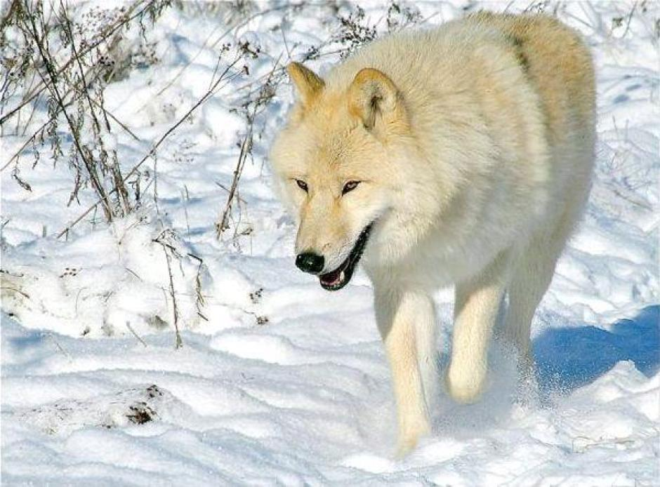 loup-hiver