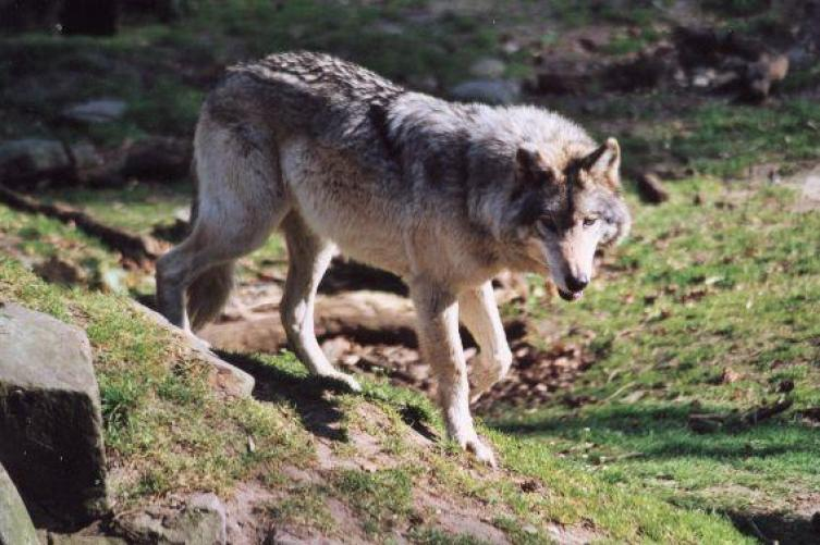 notre-frere-loup