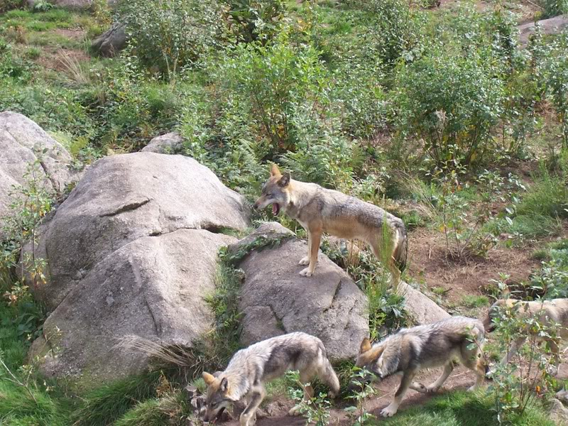 loups-chabrieres-3