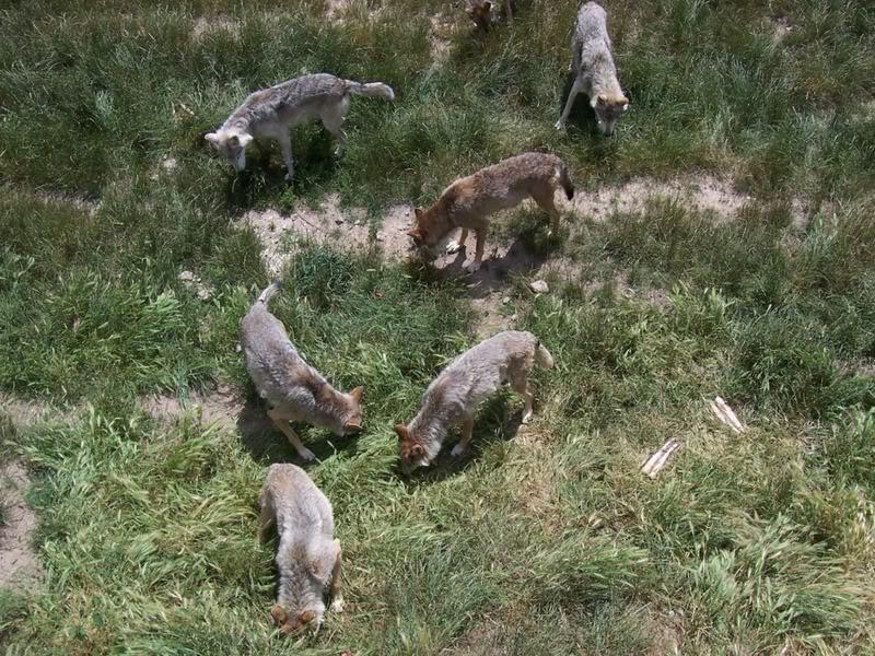 loups-gevaudan-2