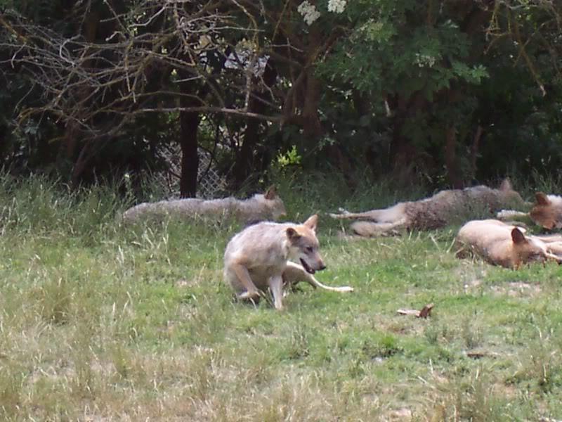 loups-gevaudan-1