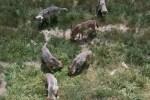 wolves-loups-gevaudan
