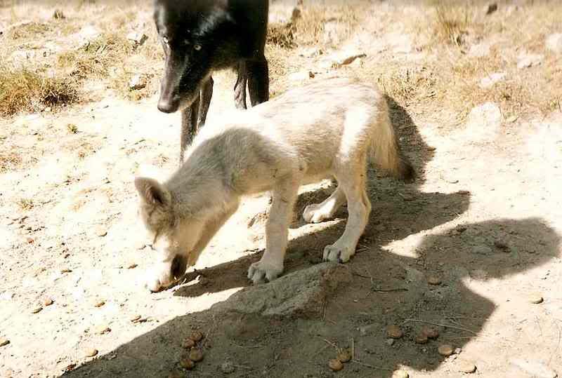 loups-gevaudan-5