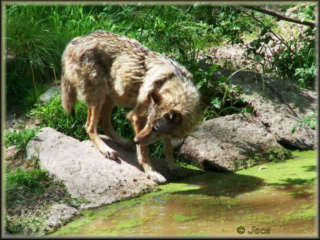 loups-joce-6