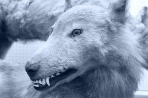 ethologie-loup