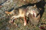 loup-louve-mort