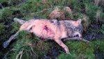 loup exécuté