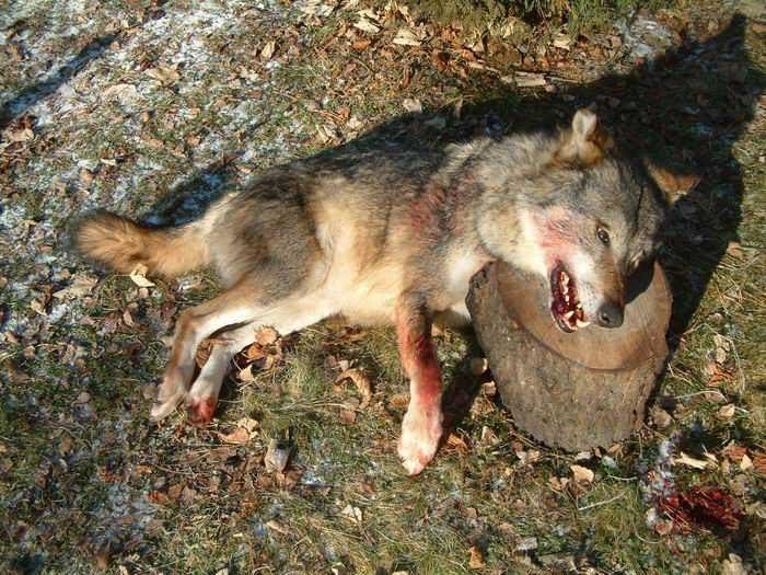 biocide-accelere-pour-atteindre-quota-plan-loup