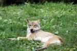 loup-chien-dort