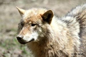 loups-plus-intelligents-que-chiens