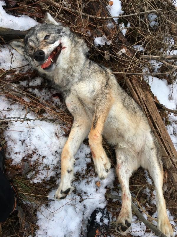 hulot-abattre-loups