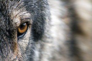 billet-lupin-anne-menatory-3-loup