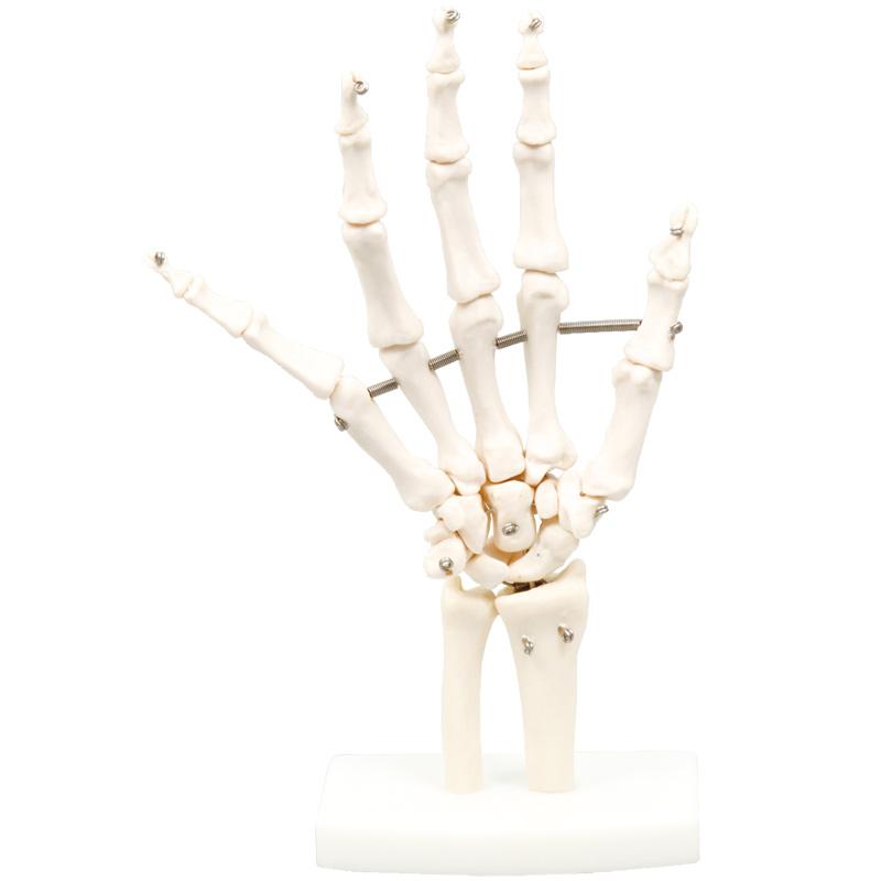 手関節模型 人體模型 模型 理科 解剖 生物 學校 教材 備品 小學生 中學生 勉強:ルーペスタジオ
