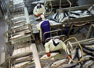 nordlaks produksjon laks laksesider laks norlaks sjømat fisk