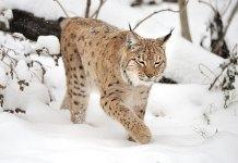 gaupe lynx jakt kvotejakt lisensjakt